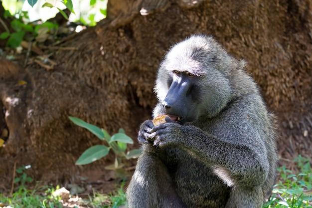Um babuíno encontrou uma fruta e a come