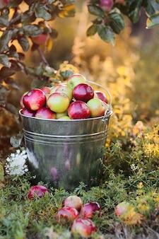 Um balde cheio de maçãs maduras na grama do jardim sob os raios do pôr do sol