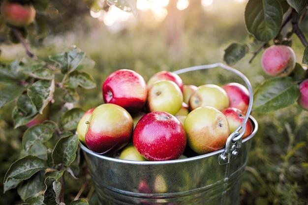 Um balde cheio de maçãs vermelhas maduras está na grama do jardim sob os raios do pôr do sol sob a macieira