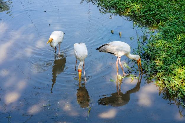 Um bando de cegonha de leite está caçando em um lago. à procura de peixe.