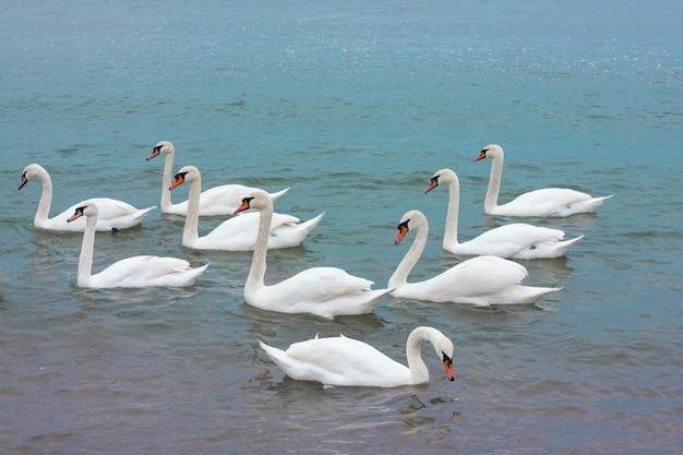 Um bando de cisnes brancos nadando na água azul