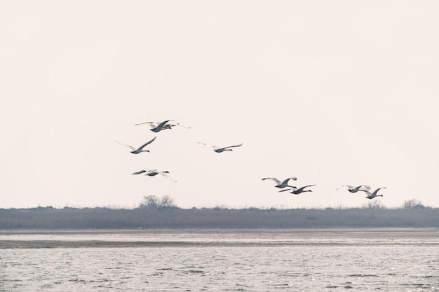 Um bando de cisnes em voo