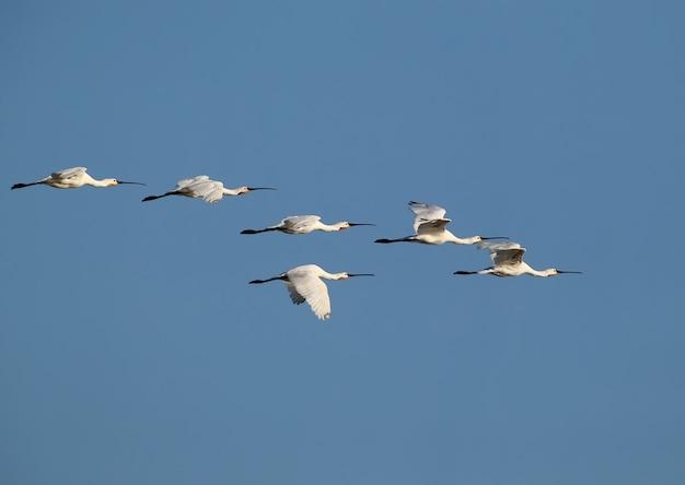 Um bando de colhereiros eurasiáticos voando contra o céu
