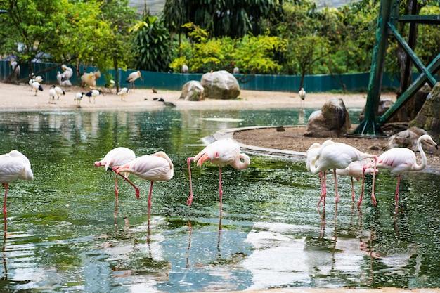 Um bando de flamingos cor de rosa fica em uma lagoa. observação de pássaros