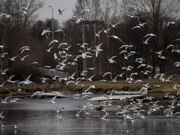 Um bando de gaivotas sobre o lago