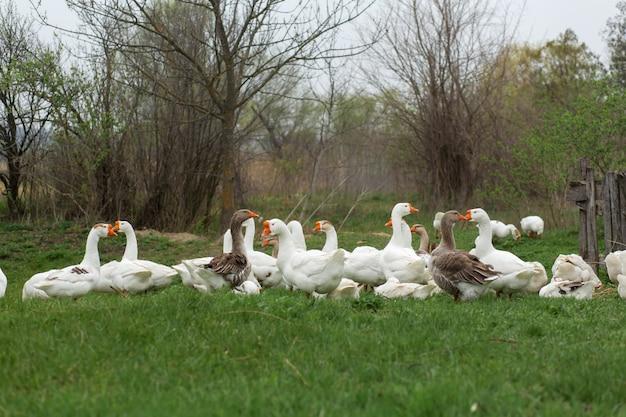 Um bando de gansos brancos a pé na primavera na vila no gramado com grama verde fresca