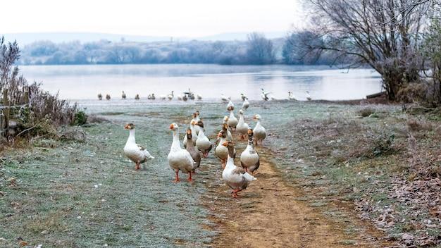 Um bando de gansos na margem do rio coberta de gelo