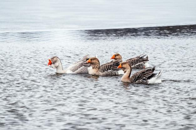 Um bando de gansos nada na superfície sem gelo do rio no inverno