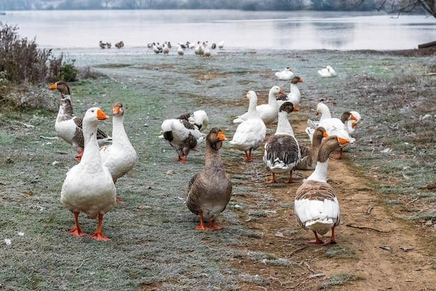 Um bando de gansos no rio no outono com geada na grama
