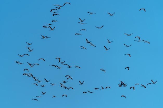 Um bando de guindastes voa em busca de comida
