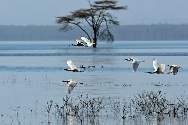 Um bando de íbis em um habitat natural. quênia. lago nakuru.