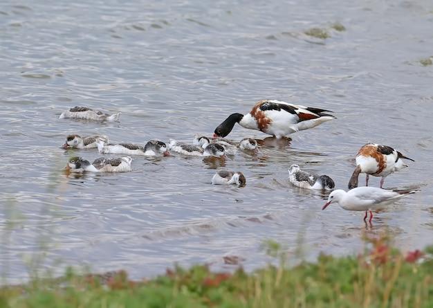 Um bando de jovens shelducks é alimentado na água sob a supervisão de dois patos adultos