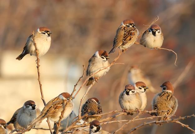 Um bando de pardal senta-se no arbusto na luz suave do fim de tarde