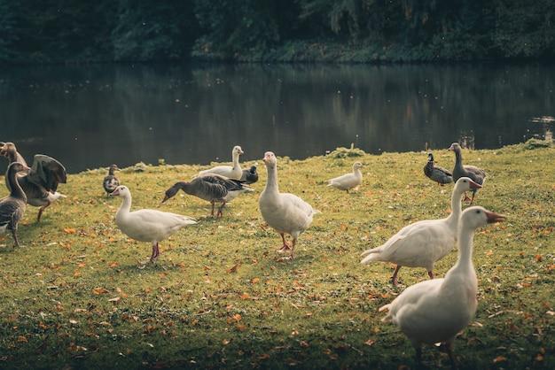 Um bando de patos incríveis ao redor de um lago