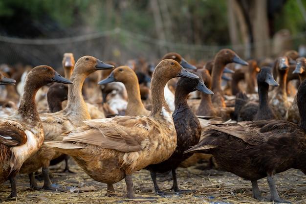 Um bando de patos voltando da busca por comida reunidos para organizar