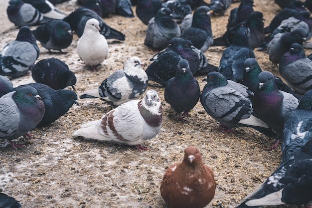 Um bando de pombos come grãos.