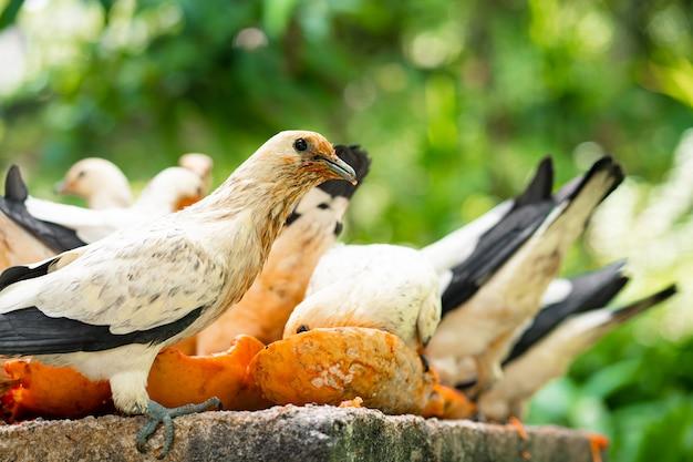 Um bando de pombos comendo mamão em uma manjedoura. observação de pássaros