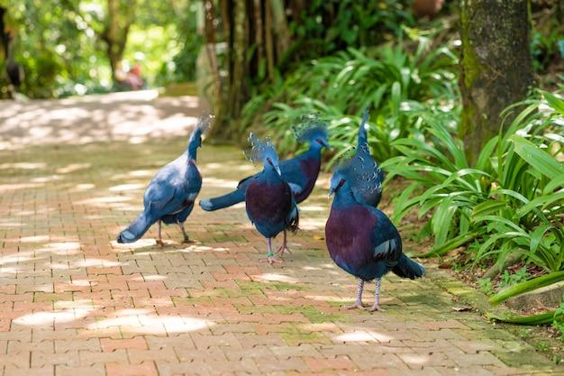 Um bando de pombos coroados anda em um parque verde. beleza da natureza. observação de pássaros