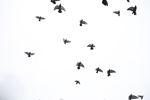 Um bando de pombos voa pelo céu. os pássaros voam contra o céu. um grande grupo de pássaros de pombos voa pelo céu em fundo branco.