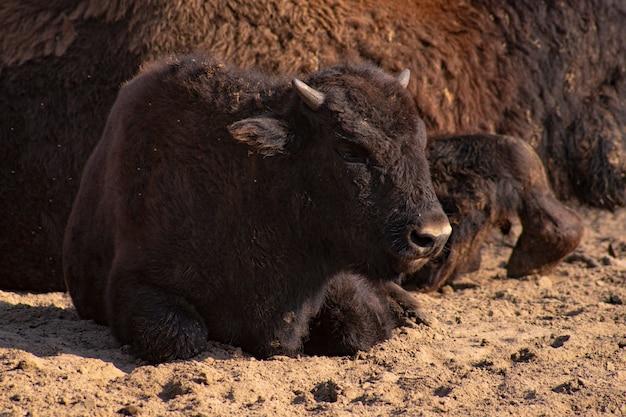 Um bebê bisão está deitado no chão