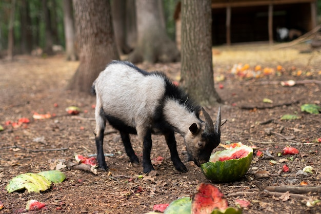 Um bebê cabrito cinza com chifres come uma melancia. capricórnio