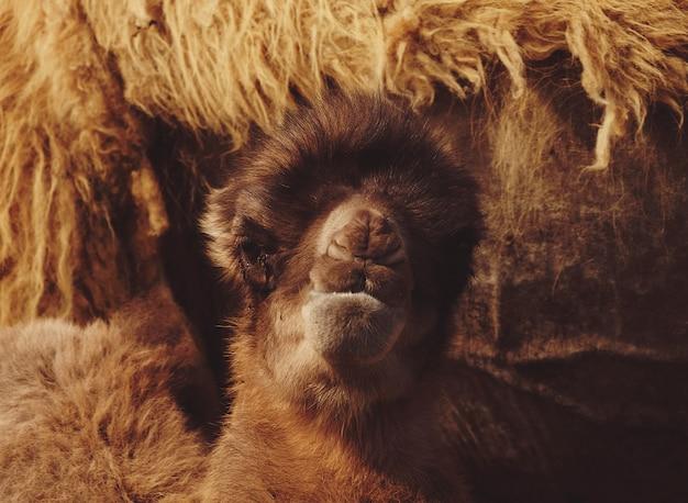 Um bebê camelo ao lado de sua mãe