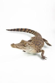 Um bebê crocodilo de água salgada isolado no fundo branco