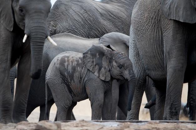 Um bebê elefante caminhando em manada