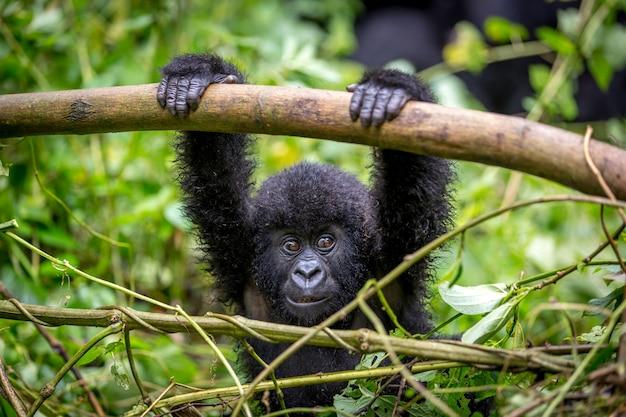 Um bebê gorila dentro do parque nacional virunga