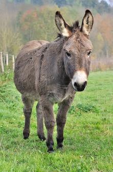 Um belo burro