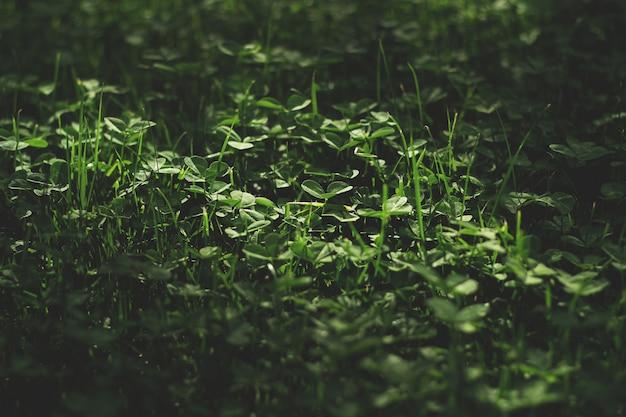Um belo campo de trevo