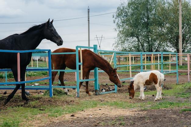 Um belo e jovem pônei fareja e mostra interesse nos cavalos adultos da fazenda
