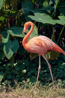 Um belo flamingo no suny