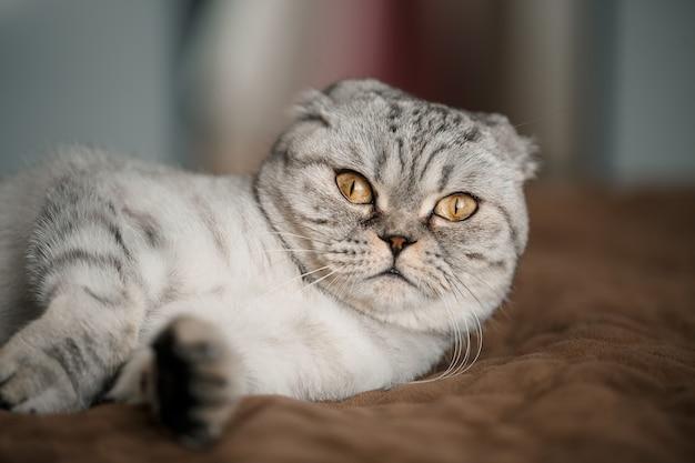 Um belo gato cinza grande dobra escocesa ou dobra escocesa. gato brincalhão de estimação