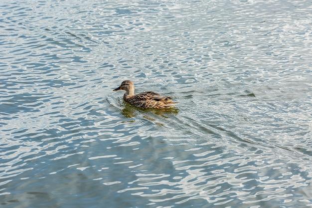 Um belo pato selvagem migratório solitário flutuando em um lago, uma plumagem marrom e um bico amarelo