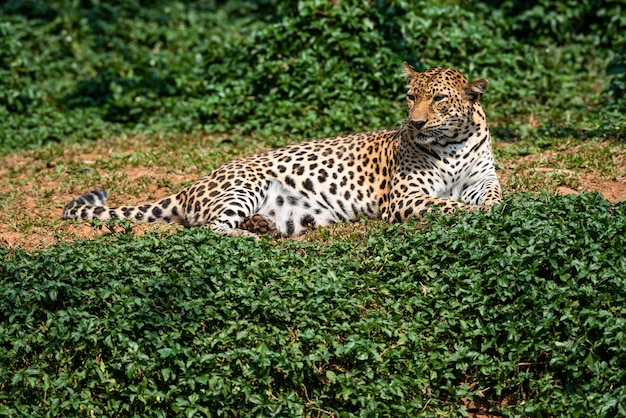 Um belo retrato leopardo