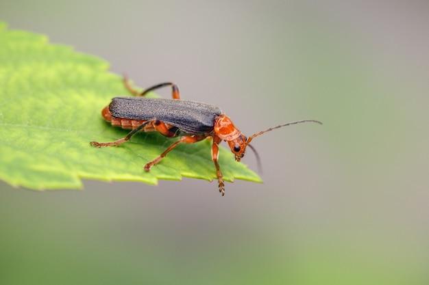 Um besouro cantharidae laranja de asa preta senta-se na ponta de uma folha