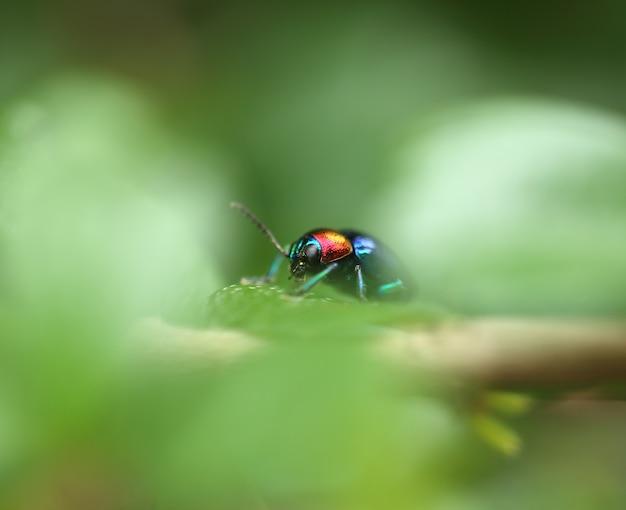 Um besouro empoleirou-se em uma folha da planta. superfamília scarabaeoidea