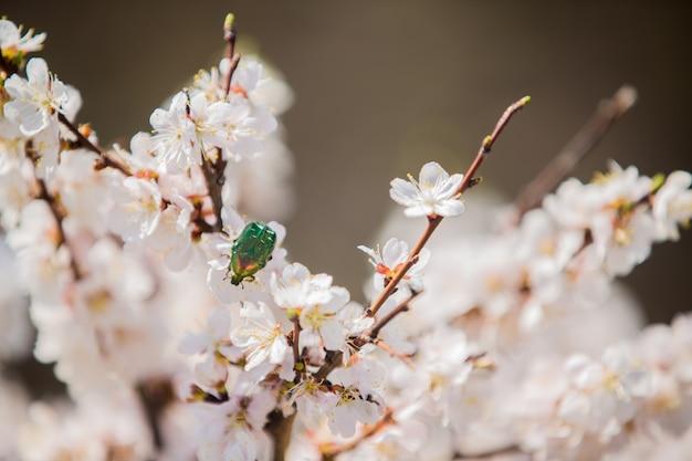 Um besouro forrado verde poliniza as flores brancas de um arbusto em flor