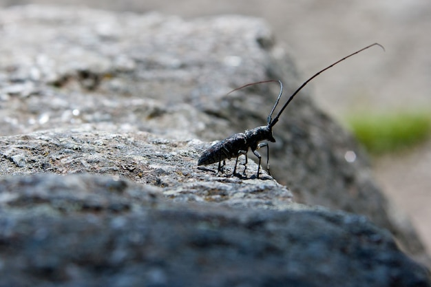 Um besouro serrador pintado no parque nacional de yellowstone