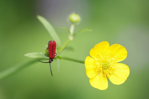 Um besouro vermelho brilhante com um bigode preto sentado no caule de um botão de ouro