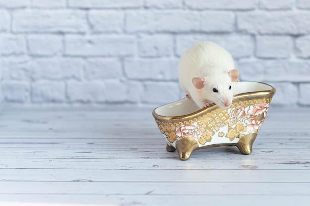 Um bonito rato decorativo branco toma banho. limpeza e higiene.
