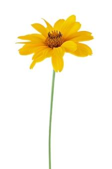 Um botão de florescência em um talo de flor isolado em um fundo branco.