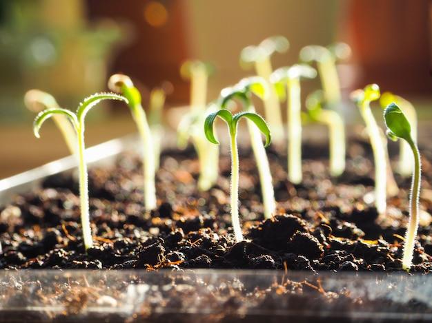 Um broto pequeno em uma panela de turfa. germinação de sementes na primavera.