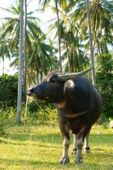 Um búfalo com grandes chifres pasta no gramado em uma selva tropical verde.