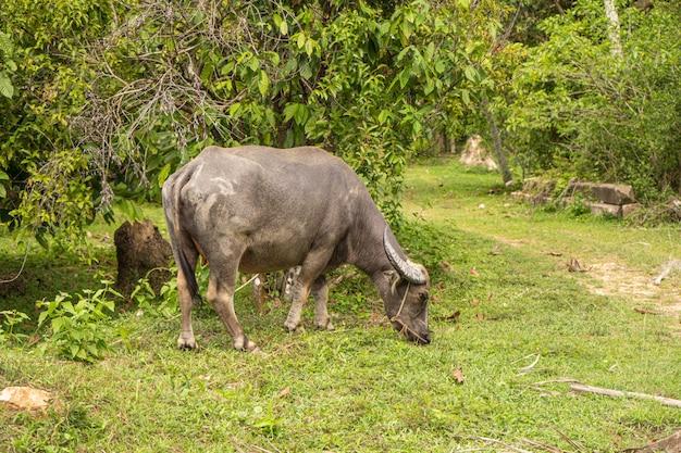 Um búfalo com grandes chifres pasta no gramado em uma selva tropical verde