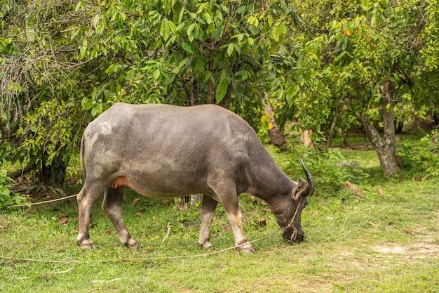 Um búfalo com grandes chifres pasta no gramado em uma selva verde tropical