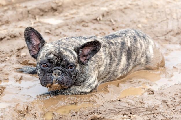Um buldogue francês está deitado na lama