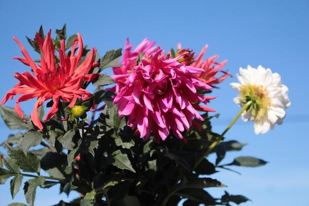 Um buquê de grandes flores de dália no jardim contra o céu azul
