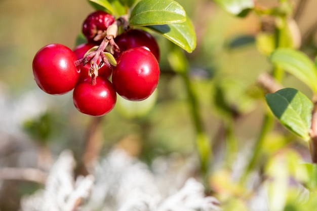 Um buquê de mirtilos vermelhos maduros selvagens em um arbusto macro